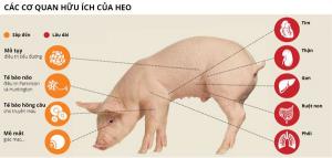Những cơ quan của heo có thể cấy ghép cho người