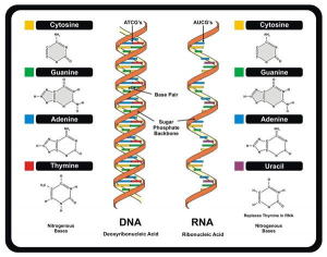 Cấu trúc của ADN và ARN