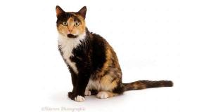 Mèo tam thể là một ví dụ của chimera thể khảm